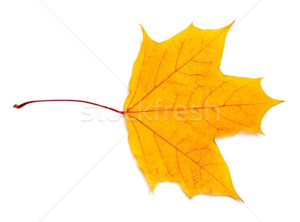 Autumn yellow maple leaf Stock photo © BSANI