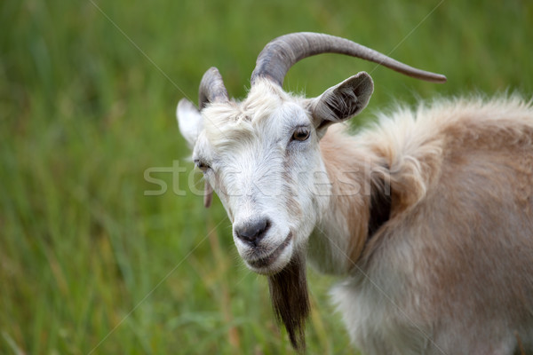 Portré kecske tavasz haj mező zöld Stock fotó © BSANI
