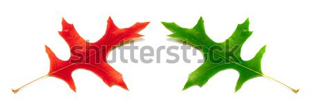 Autumn and spring oak leafs (Quercus palustris) isolated on whit Stock photo © BSANI