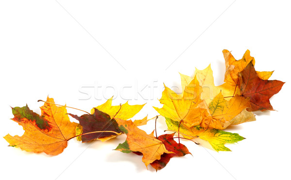 Autumn dry maple leafs isolated on white background Stock photo © BSANI
