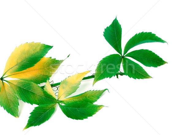 Ramo uvas folhas isolado branco Foto stock © BSANI