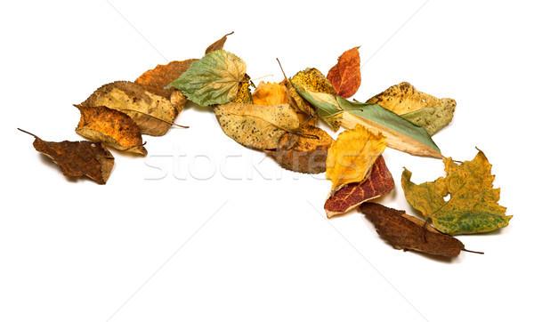Aszalt ősz izolált fehér copy space fa Stock fotó © BSANI