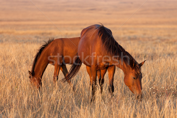Two horses grazing in pasture Stock photo © BSANI