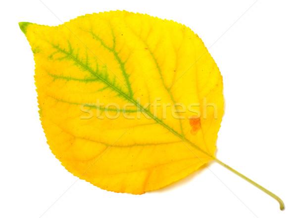 Yellowed autumn poplar leaf. Close-up view. Stock photo © BSANI