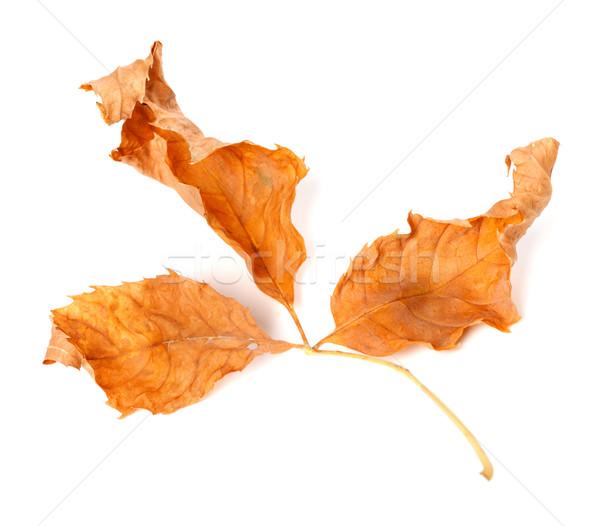 Dried yellowed autumn leaf Stock photo © BSANI