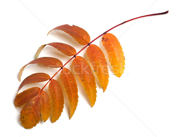 Autumn rowan leaves Stock photo © BSANI