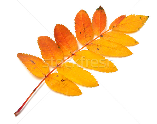 Autumnal yellowed rowan leaf on white background Stock photo © BSANI
