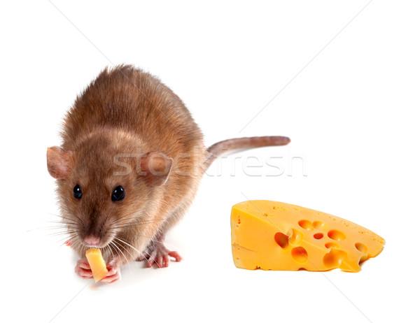 Fancy rat (Rattus norvegicus) eating cheese Stock photo © BSANI