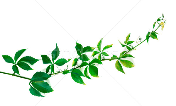 Twig of grapes leaves Stock photo © BSANI