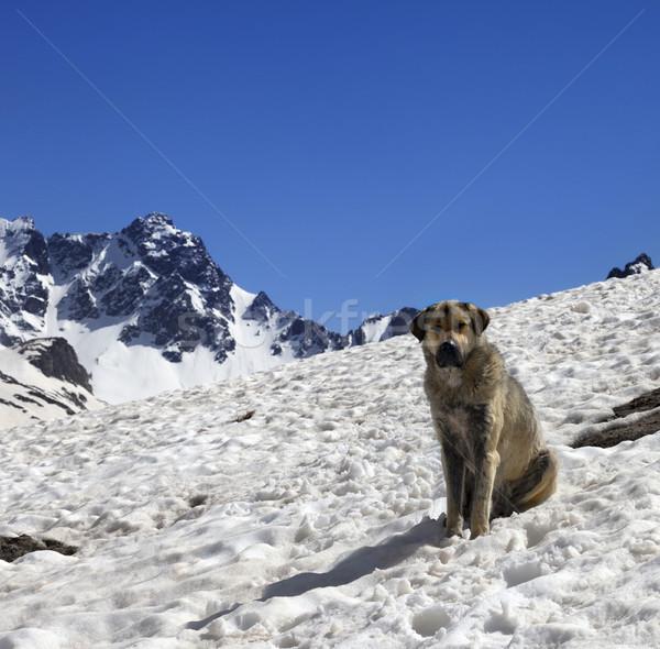 犬 雪 山 太陽 春 日 ストックフォト © BSANI