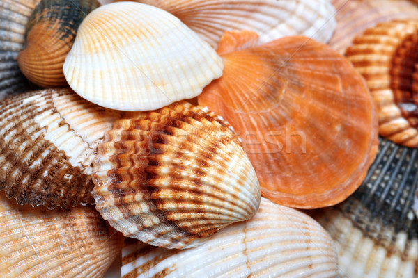 Shells of anadara and scallop at sun summer day Stock photo © BSANI