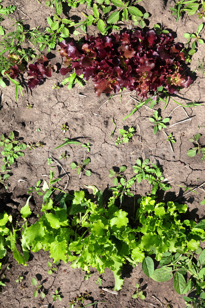Young green and red salad lettuce growing in garden Stock photo © BSANI