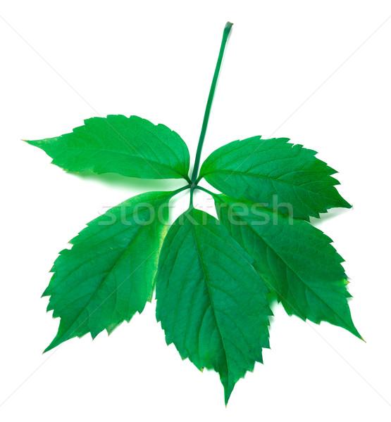 Green virginia creeper leaves Stock photo © BSANI