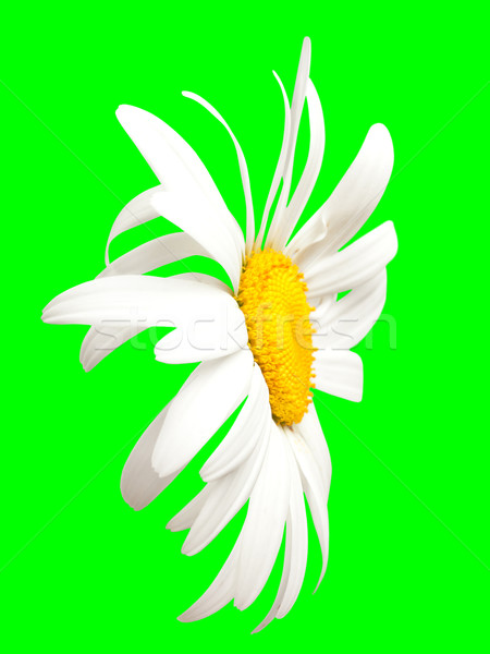 White chamomile on green. Close-up view Stock photo © BSANI