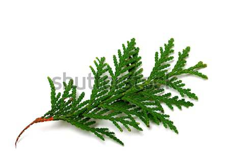 Branch of thuja isolated on white background Stock photo © BSANI