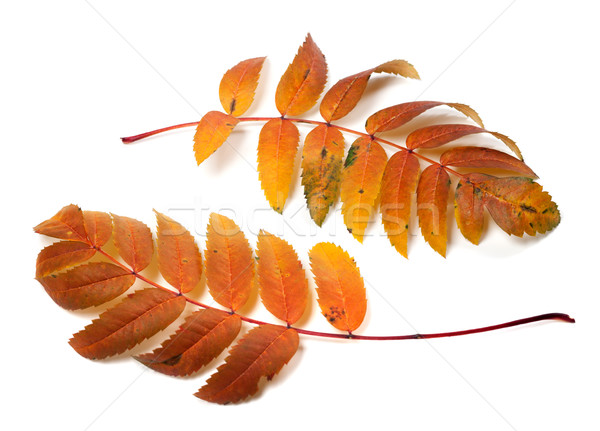 Two autumnal rowan leafs Stock photo © BSANI