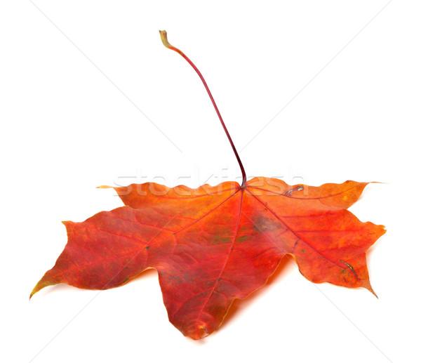 красный осень Maple Leaf белый изолированный дерево Сток-фото © BSANI