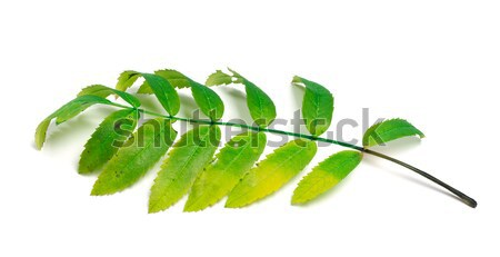 Rowan leaves on white background Stock photo © BSANI