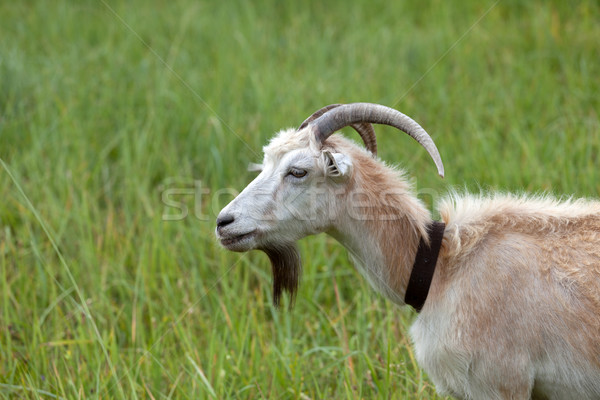 Green meadow and portrait of goat Stock photo © BSANI