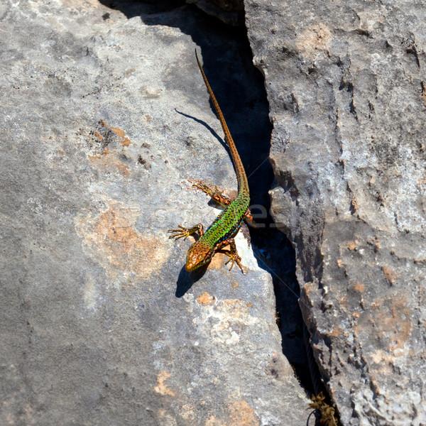 Sand lizard bask on rock Stock photo © BSANI