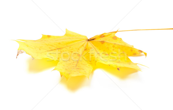 Yellow maple leaf on white background Stock photo © BSANI