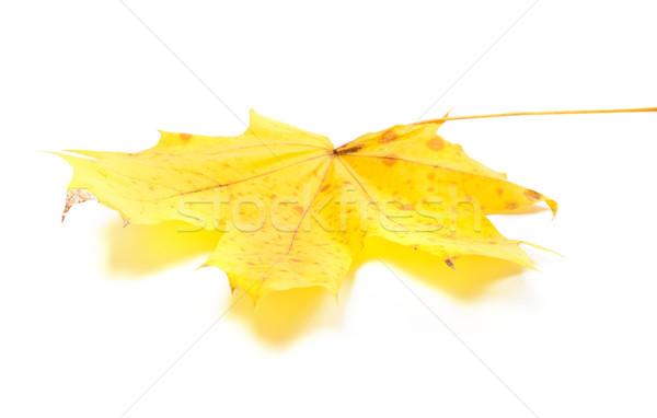 Sarı akçaağaç yaprağı beyaz yalıtılmış seçici odak orman Stok fotoğraf © BSANI