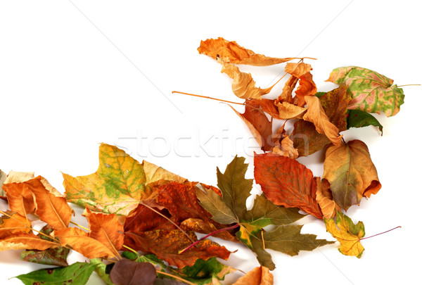 Autumn dry leafs. Isolated on white background Stock photo © BSANI