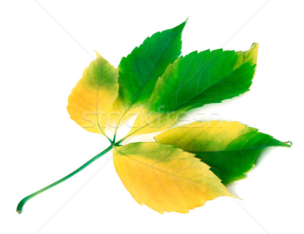 Multicolor grapes leaf on white background Stock photo © BSANI