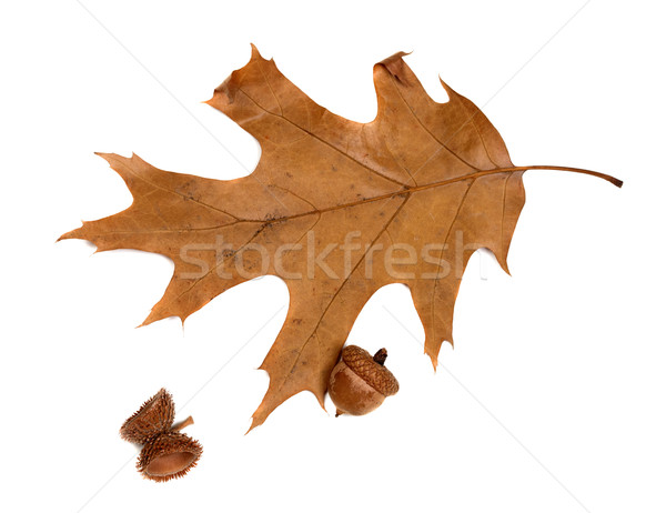 Autumn leaf of oak and acorns Stock photo © BSANI