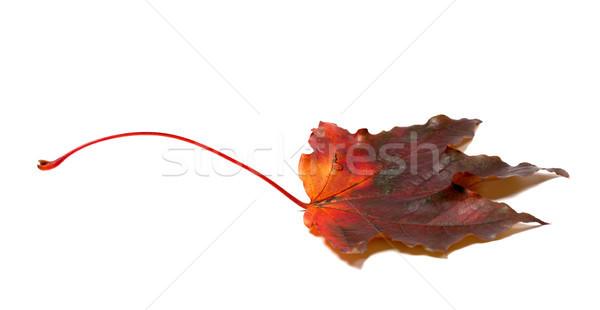 Autumn maple-leaf on white Stock photo © BSANI