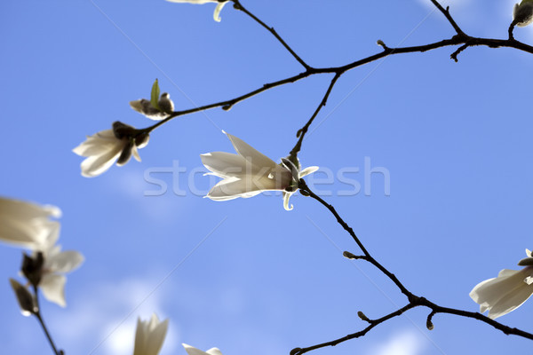 Spring twigs of magnolia with young flowering buds and blue sky Stock photo © BSANI