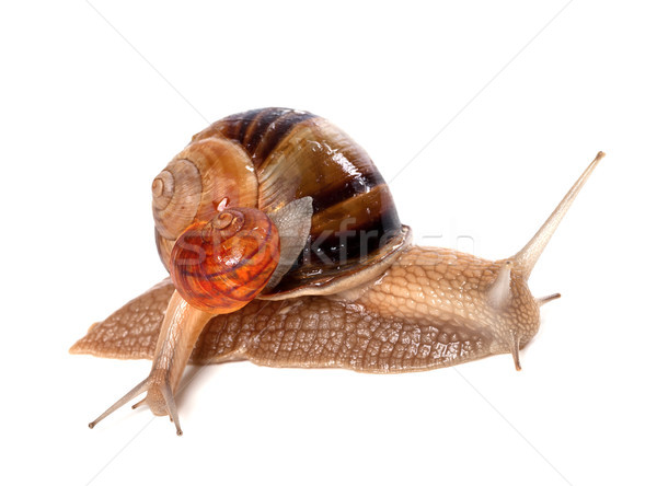 Big and small snails Stock photo © BSANI