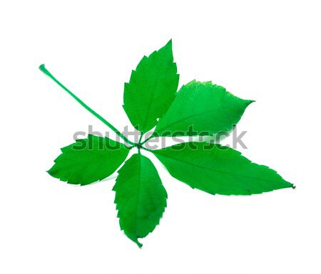 Groene Virginia blad geïsoleerd witte voorjaar Stockfoto © BSANI