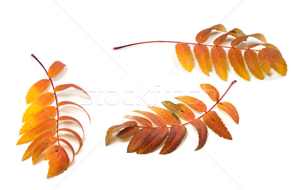 Three autumn rowan leafs on white background  Stock photo © BSANI