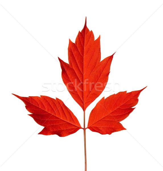 Red acer negundo leaf Stock photo © BSANI