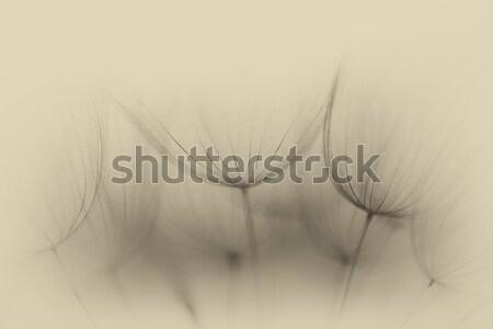 Paardebloem bloem extreme abstract zachte Stockfoto © bubutu