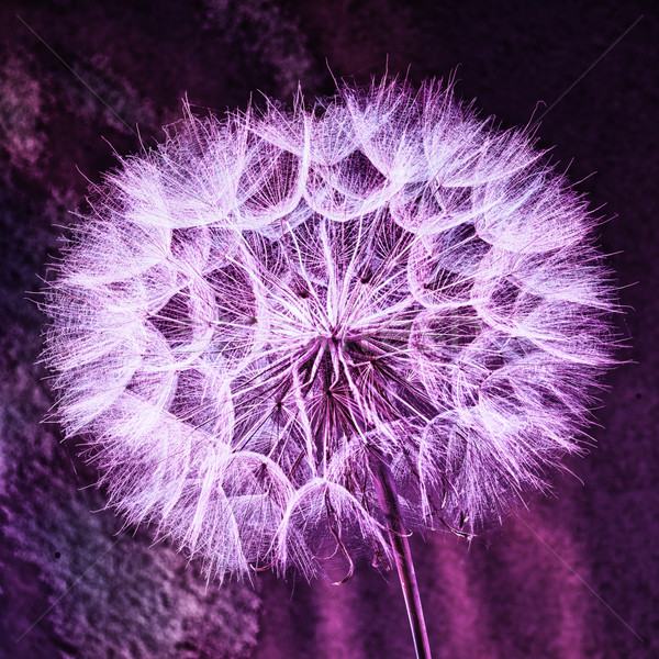 Vintage Pastel Background - vivid abstract dandelion flower Stock photo © bubutu