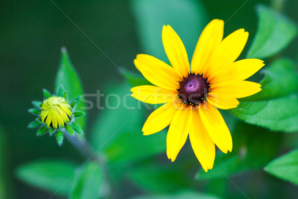 Bright yellow rudbeckia or Black Eyed Susan flowers Stock photo © bubutu