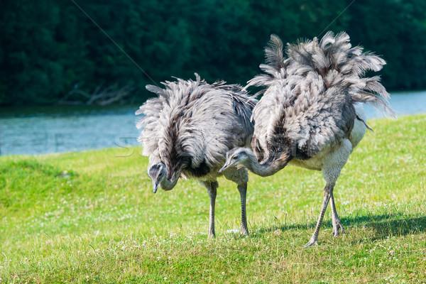 ペア アフリカ 徒歩 美しい 羽毛 草 ストックフォト © bubutu