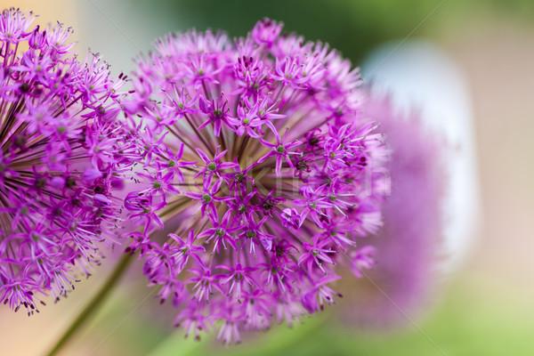 Stock fotó: Makró · fotó · virágok · közelkép · lila · virág