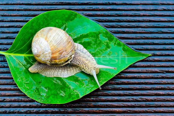 Caracol molhado terraço grande folha verde Foto stock © bubutu