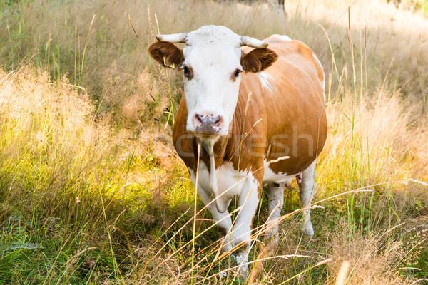 Vaca verano pradera naturaleza campo Foto stock © bubutu