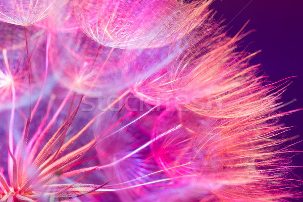 Сток-фото: красочный · розовый · пастельный · яркий · аннотация · одуванчик