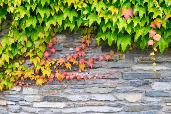 Vieux mur de pierre lierre texture automne usine Photo stock © bubutu