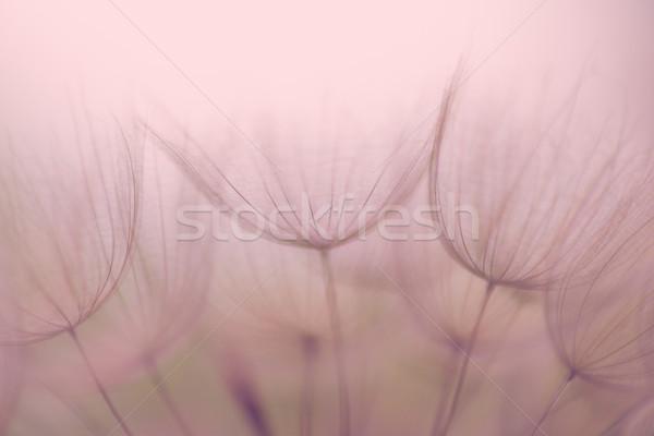 Nostalgiczny Dandelion kwiat ekstremalnych streszczenie Zdjęcia stock © bubutu