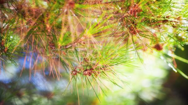 ág tűlevelű faág fa napfény hatás Stock fotó © bubutu