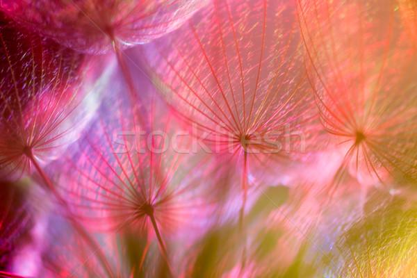 Színes pasztell élénk absztrakt pitypang virág Stock fotó © bubutu