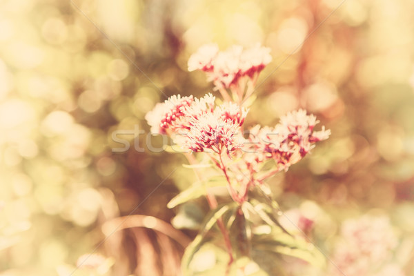vintage photo of wildflower  Stock photo © bubutu