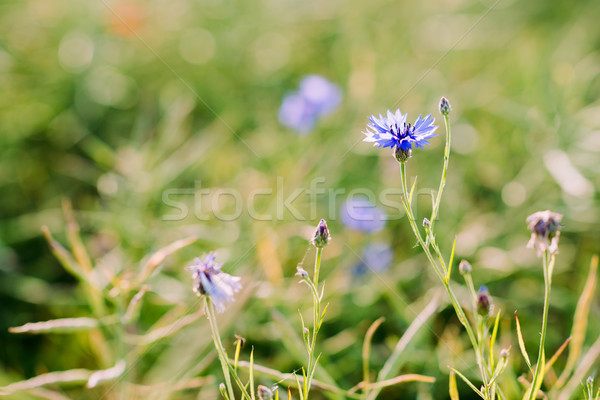 Beautiful wildflowers cornflowers Stock photo © bubutu