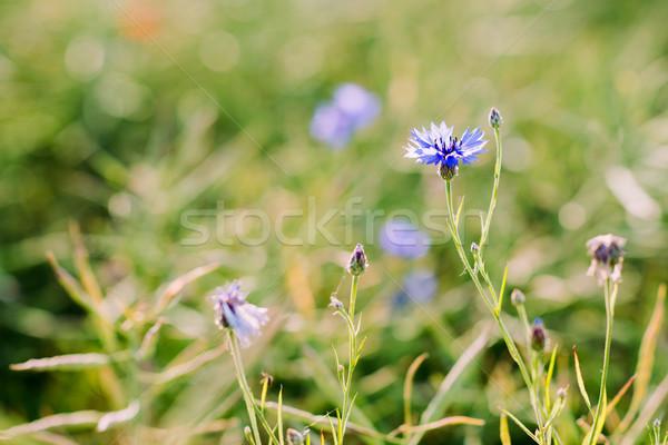 красивой Полевые цветы василек диких цветов растущий области Сток-фото © bubutu